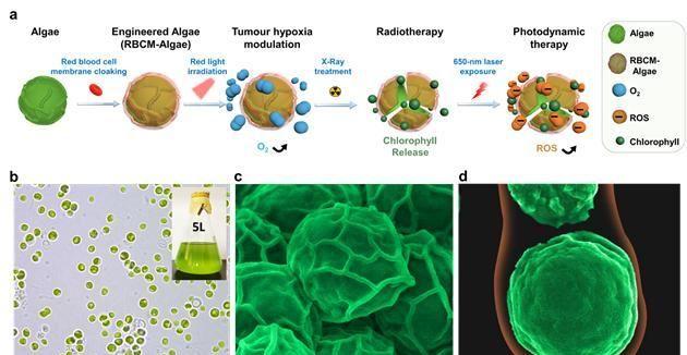 进展 浙江大学团队通过改造藻类,提高肿瘤治疗效果