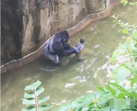小男孩不慎掉入动物园人工河,大猩猩一把将其抓住,却是这结果