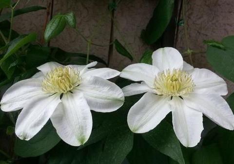 春天爆盆的3种花,入手要谨慎,可能是假花,养花人几乎都上过当