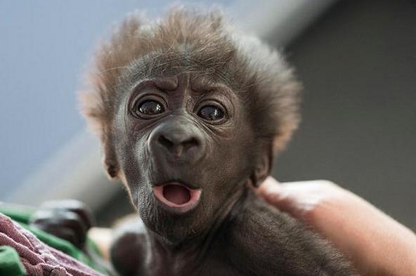 大猩猩生孩子突遭意外,医生不顾它反抗强制采用那样方式给其接生