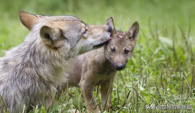 大自然里存在狈这种动物吗?它们主要生活在我国哪些省份?