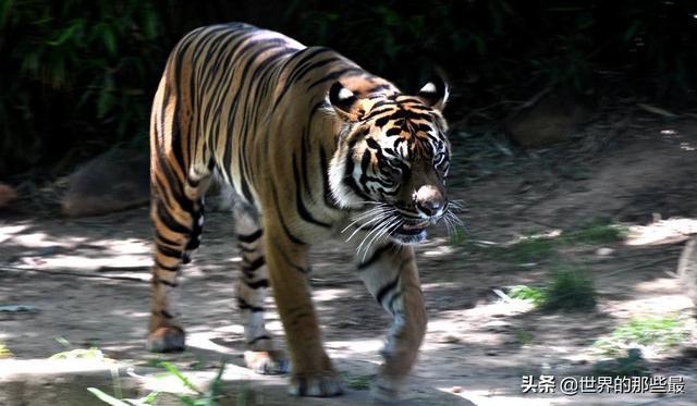 银背大猩猩成年后花豹不再是其对手,那它有可能打赢老虎吗?