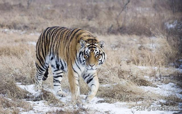 老虎拍击力量有一吨?那么私家车的玻璃能否扛得住大猫一掌?