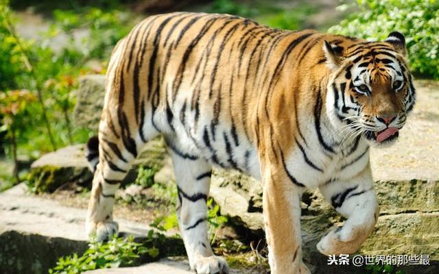 狗闻到老虎味就跑,那狗是怎么凭借气味就知道老虎很厉害的?
