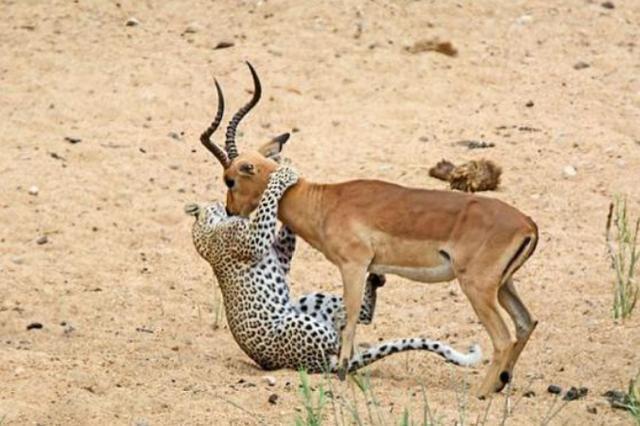 摄影师在大草原上记录到这奇怪一幕,花豹捉住羚羊竟只为亲一口?