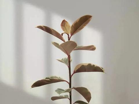 橡皮树叶子像艺术品,放阴凉地儿长得更旺,摆客厅能镇宅!