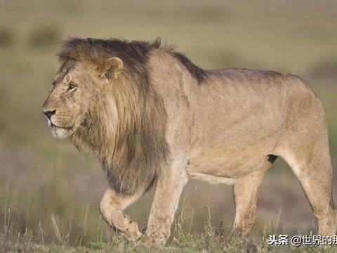 鬣狗抢夺狮子猎物,秃鹫正准备捡漏,援军一到鬣狗四处奔逃