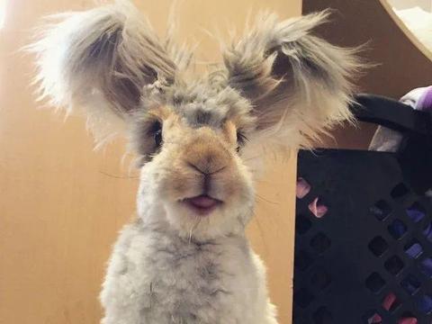 """大耳兔兔自带""""双马尾"""",高颜值萌翻网友:兔界的红网"""