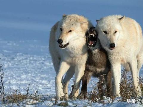 """在犬科家族里,它们""""奸名""""远播,体型小却能让老虎都害怕"""