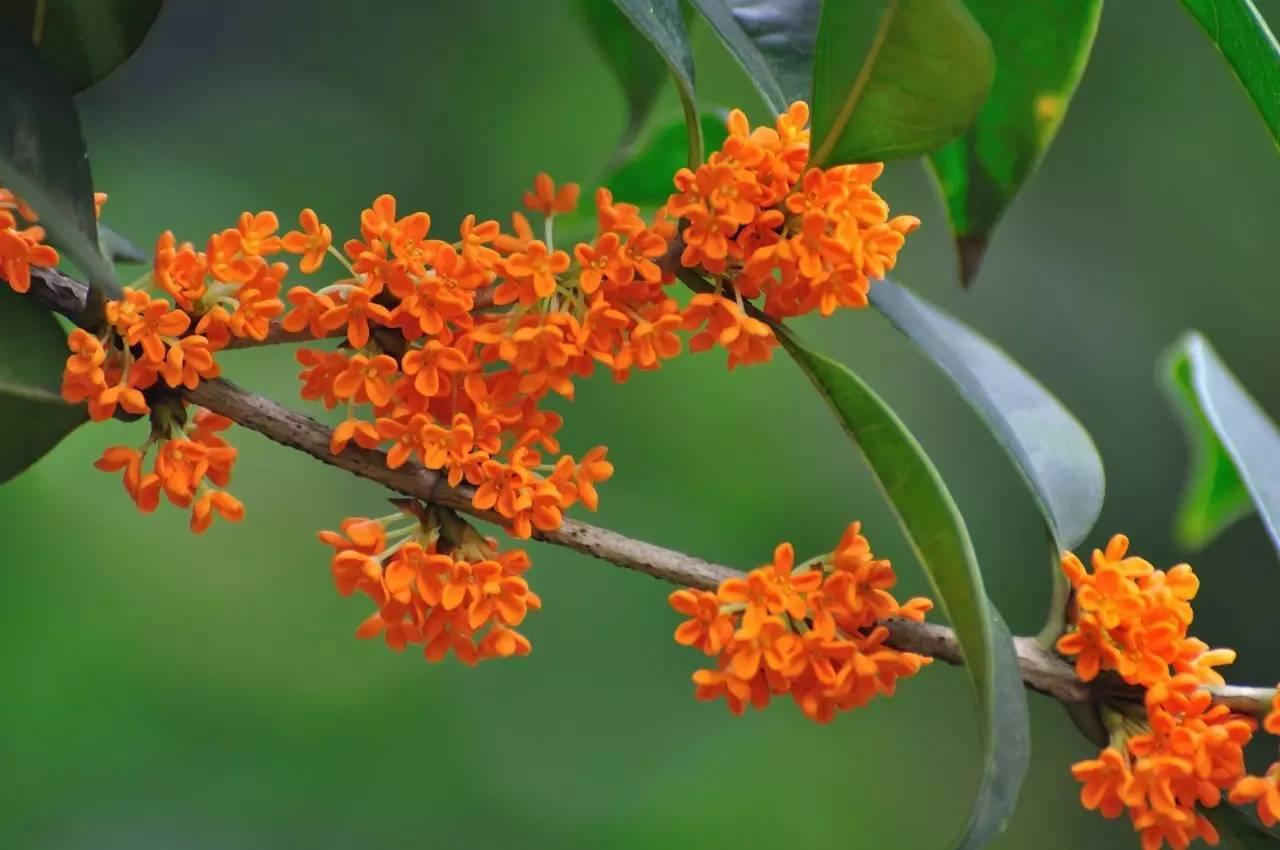 此花是吉祥和荣誉的象征,是民族特色和文化内涵