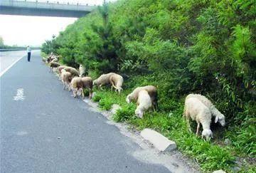 辽宁葫芦岛市范家乡这老汉的羊,被撞死了一只?