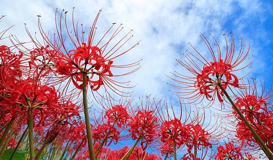 专家首次发现彼岸花,号称最诡异的植物,有起死回生之效