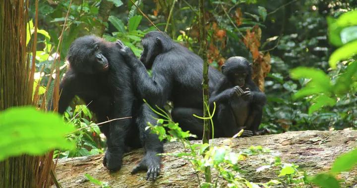 科学家们发现黑猩猩说话的雏形