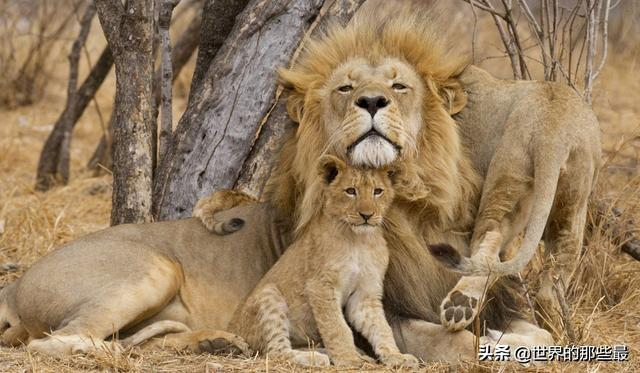 这可能是最惨的狮群:被虐待至脱发患病,得救后未来仍堪忧