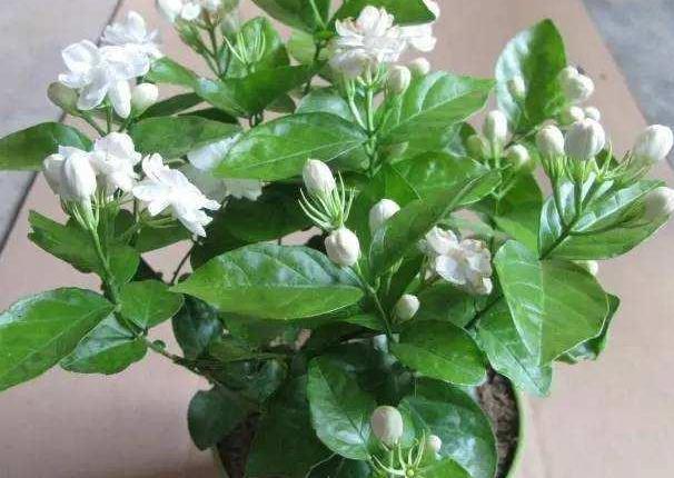 南阳台盆栽蓝雪花、茉莉花,盛夏前挪一挪,天热少生病虫害