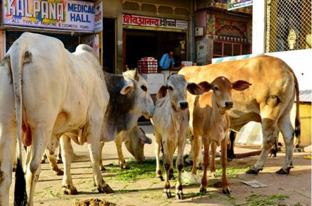 印度又一动物泛滥成灾,不能吃不能杀达3亿多头,政府都束手无策