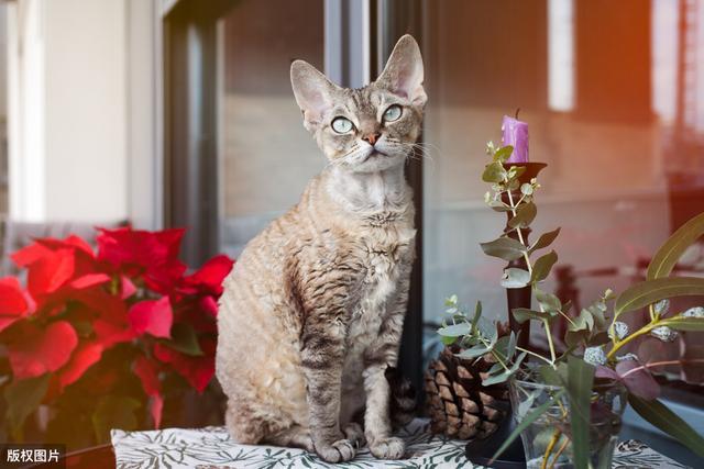 """这几种猫很堪称""""猫中嗲精"""",撒娇卖萌最拿手,你家猫上榜了吗?"""