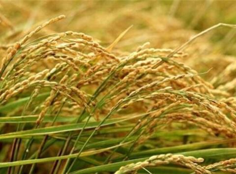 都是口粮,水稻和小麦什么区别?