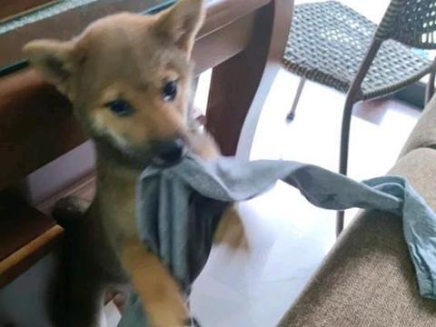 柴犬没有睡觉的地方,它要自己搭个狗窝,狗:衣服贡献出来