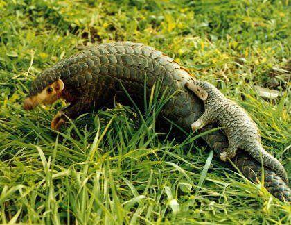 它是唯一长鳞片的哺乳动物,是森林卫士,却成了保护动物
