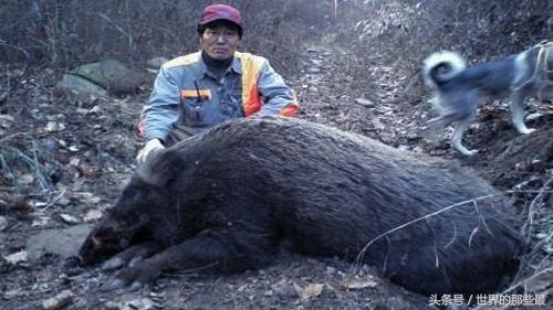 鬣狗与西伯利亚大野猪单挑,是非洲二哥胜还是陈年老猪赢?