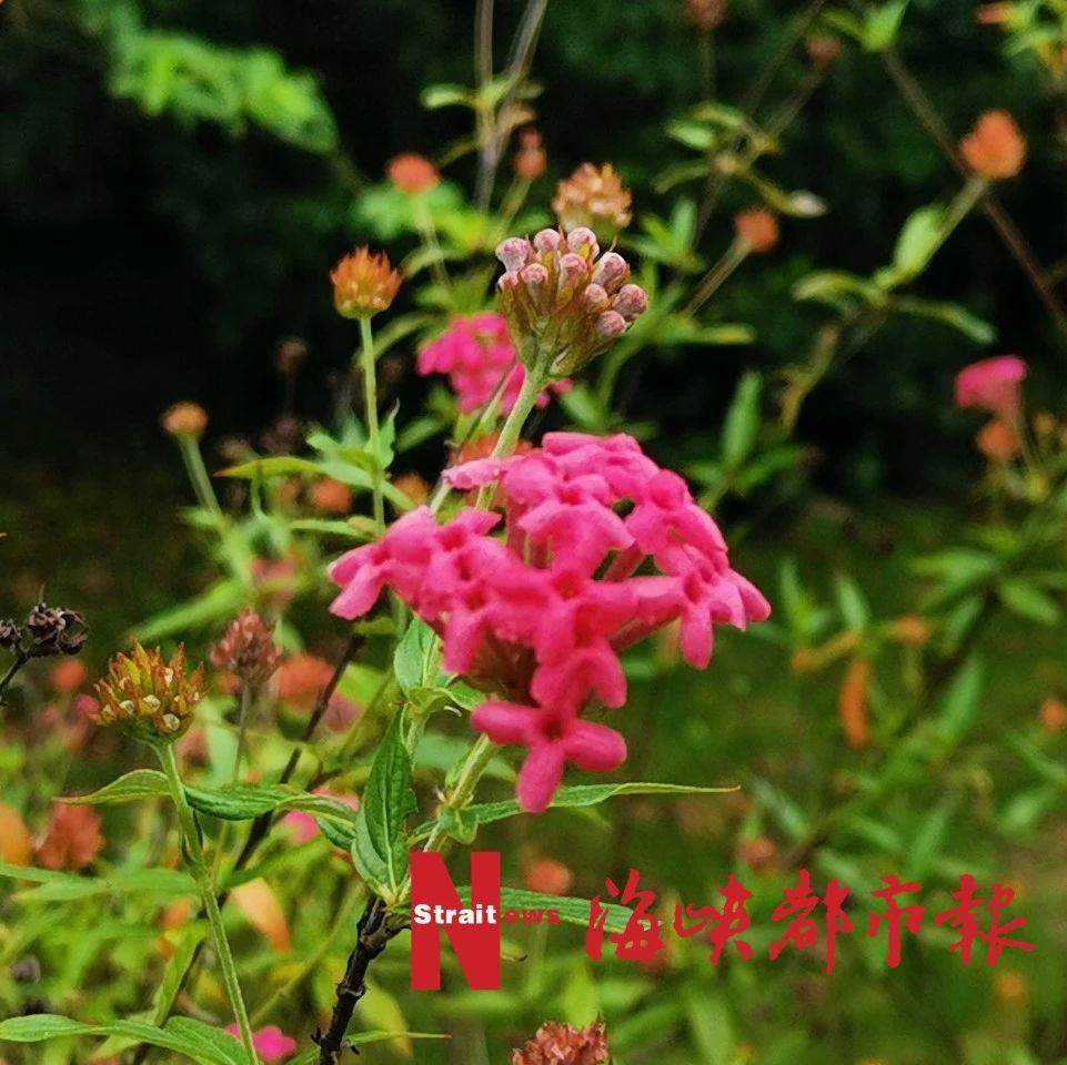 泰国樱花、夜合花、巴拿马玫瑰……就在福州金山公园!