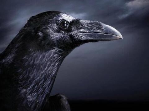 人类消失后哪种动物会称霸地球?科学家:不要低估乌鸦的实力