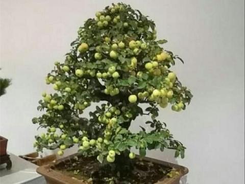 冬红果老桩也可以制作成盆景,还能结满红色诱人的红果子