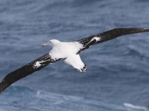 世界上翅膀最长的鸟,因为寿命过长,被列入濒危物种