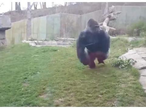 大猩猩被小孩激怒,一拳击碎钢化玻璃,镜头下记录惊险时刻!