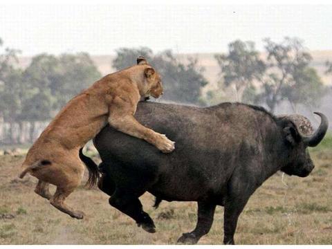 野牛惨遭狮子逮捕,又被鳄鱼埋伏,愤怒至极上演绝地反击战