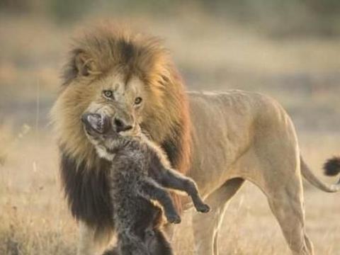 将非洲狮和斑鬣狗放到美国南部、墨西哥的环境下,它们能生存吗