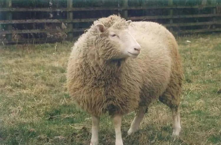"""世界上第一只克隆羊""""多莉"""",最终活了几岁?是对克隆人的警示"""