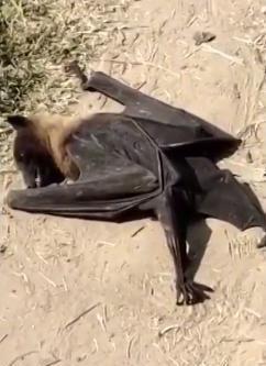 印度数百只蝙蝠神秘死亡,地上黑压压一片,网友:世界末日标志