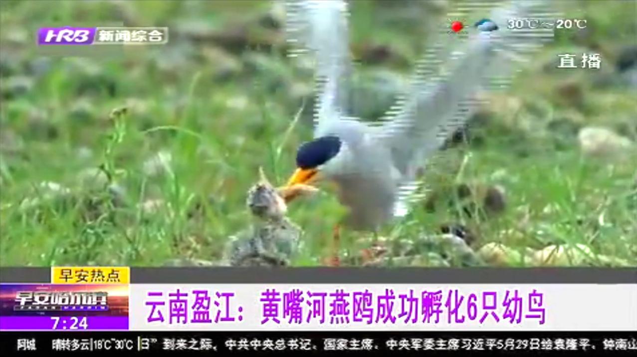 喜讯!云南盈江:濒危黄嘴河燕鸥成功孵化6只幼鸟,已展开重点保护