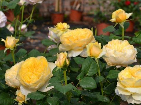 """月季生长期如何修剪,有3种""""方式"""",花期长花色艳花朵大"""