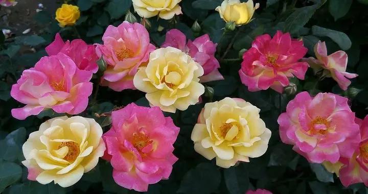 月季开花爆盆花肥要跟上,别急着买花肥,洋葱泡水照样养出花海