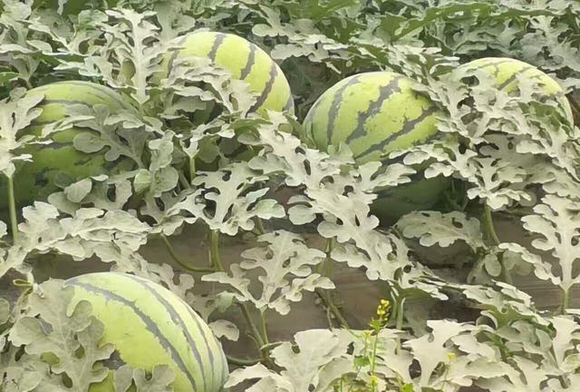 农民种西瓜,延长西瓜结瓜期有技巧,西瓜种植高手教你学会3点