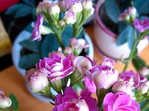长寿花能养死不太容易,记3点,10年不死开的旺!