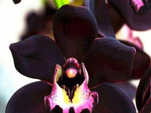 """花色很""""神秘""""的兰花,很多人没有见过,香味比香水浓,值得入手"""