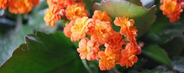 长寿花开花妙招