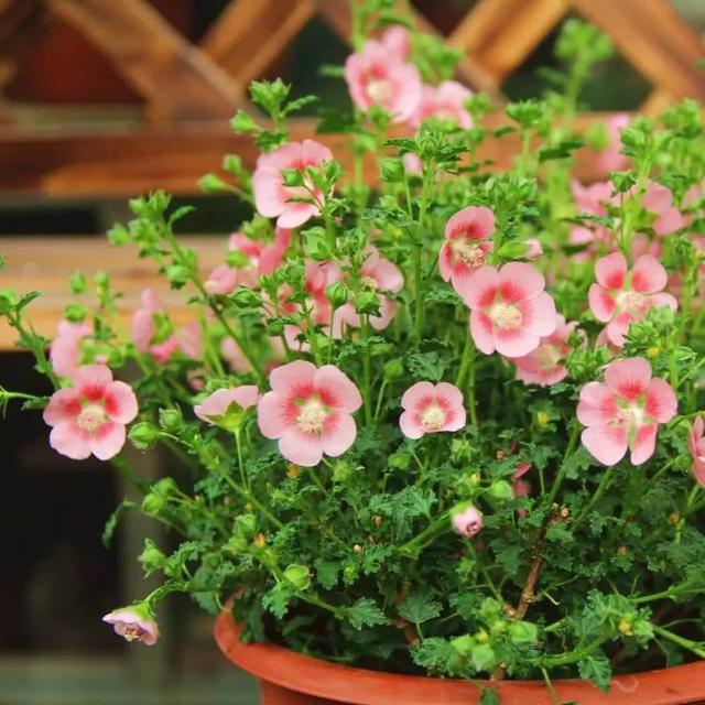 想让小木槿满枝头爆粉花,晒太阳必不可少,到达这个温度自然爆盆