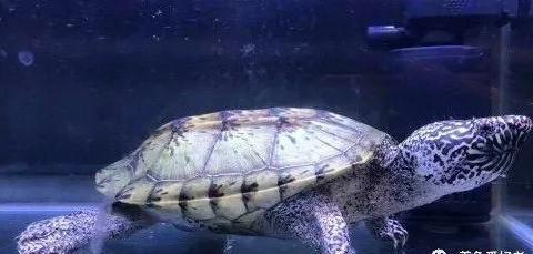 热带龟、冷水龟,它们二者可以兼容吗?
