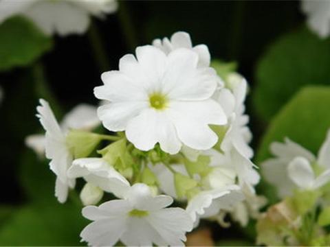 花卉植物四季樱草的四季管理