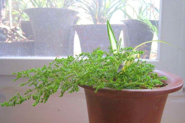 这草软软的匍匐生长,知道的人少叫翠云草,吊着养更具观赏性