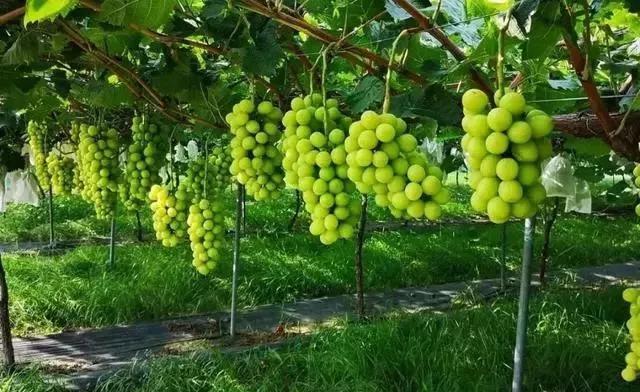 刚刚炒红的葡萄品种,被美国人告了,禁止在我国非法种植!