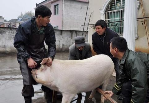 下半年猪肉价格会跌入谷底吗?猪价多少养殖户能够保本