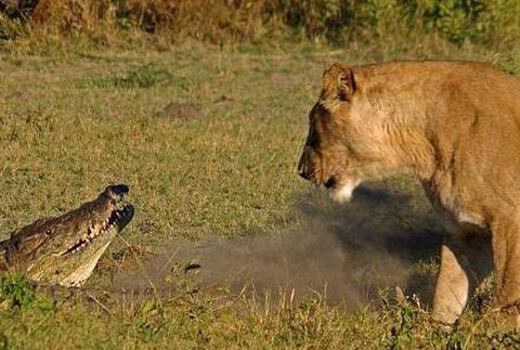 狮子不愧是群体捕猎能手,三下五除二就剥掉了鳄鱼皮享用美餐