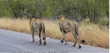 自然界的两败俱伤! 一头雄狮捕杀水牛, 战斗太激烈了
