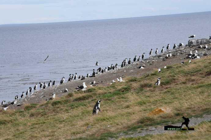 2020春节美洲游记之15:智利马格达莱纳岛看企鹅